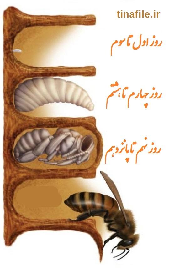 زندگی ملکه زنبور عسل