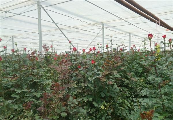 هیدروپونیک گل رز