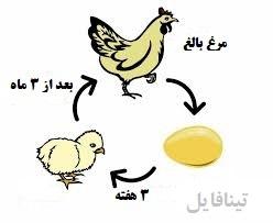 طرح توجیهی مرغ تخمگذار بومی